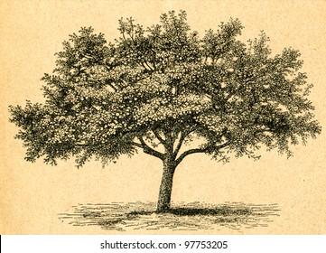 Blooming apple tree - old illustration by unknown artist from Botanika Szkolna na Klasy Nizsze, author Jozef Rostafinski, published by W.L. Anczyc, Krakow and Warsaw, 1911 - Shutterstock ID 97753205