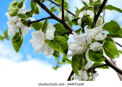 Blooming apple tree on a background of blue sky