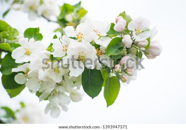 Blooming apple tree. Spring flowering of trees. Apple tree flower isolate macro