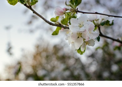Blooming apple tree in spring time on blue sky