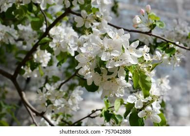 Blooming apple tree. Tender white flowers in spring. City greening.