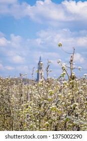 Blooming apple trees in the Betuwe with a view on the church tower of Rhenen, Gelderland, the Netherlands