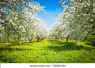 blooming apple trees garden