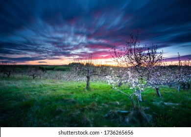 blooming apple trees in the orchard