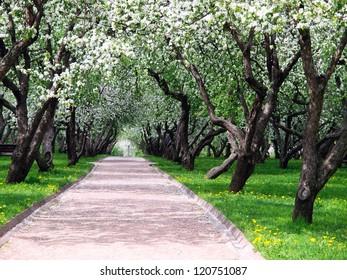 Blooming apple trees at spring. Homestead Kolomenskoe in Moscow
