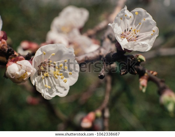 Blooming Apricot flower during spring