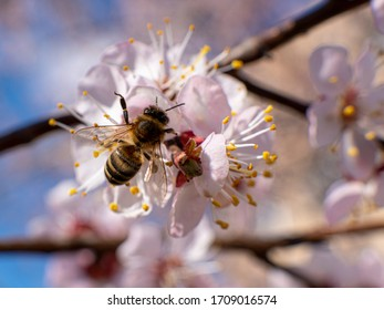 Blooming apricot tree in spring day