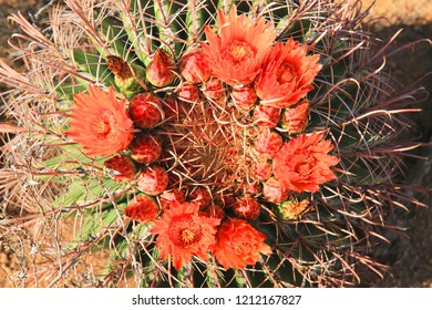 Blooming Arizona Barrel cactus in Saguaro National Park, Arizona, USA
