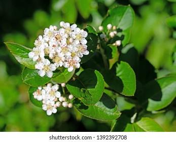 Blooming aronia berrys, aronia melanocarpa