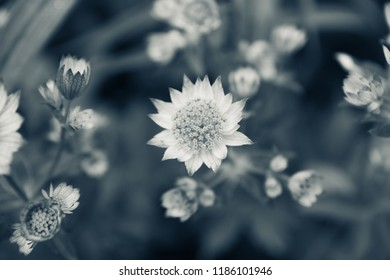Blooming Astrantia in the garden. Selective focus. Shallow depth of field. Black and white image.