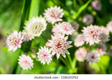 Blooming Astrantia in the garden. Selective focus. Shallow depth of field.