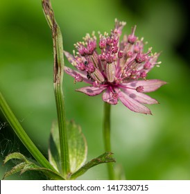 Blooming Astrantia major in June, masterwort