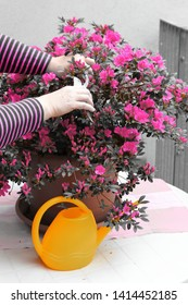 Blooming azalea with pink flowers in a pot on a white table, yellow watering can on the balcony. Pruning plants with garden shears. Hands holding garden shears.