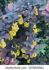 blooming barberry.Berberis , japanese barberry ornamental flowering shrub, beautiful small yellow petal flowers in bloom, purple reddish leaves.