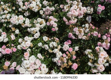 Blooming beautiful colorful roses as floral background
