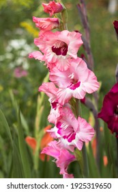 Blooming beautiful gladioli bloom in the garden among other flowers. Large-flowered pink gladiolus with a dark center (Wine and Roses). Gardening background. Growing flowers in the garden.