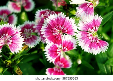 Blooming beautiful Pink Dianthus flower (Dianthus chinensis) or Rainbow Pink in a garden. Nature of colorful flowers in tropical natural field