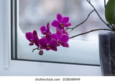 Blooming beautiful purple orchid at the window covered with snow. Early spring.