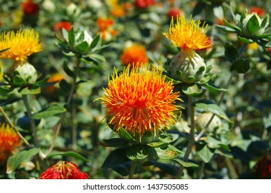 Blooming of the beautiful safflower