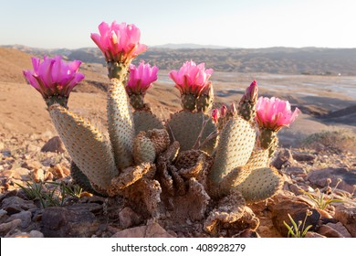 Blooming Beaver Tail Cactus, Opuntia basilaris, in desolate Mojave Desert landscape, Southern California, USA