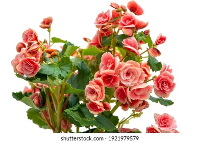Blooming begonia on a white background. Saturated pink flowers.