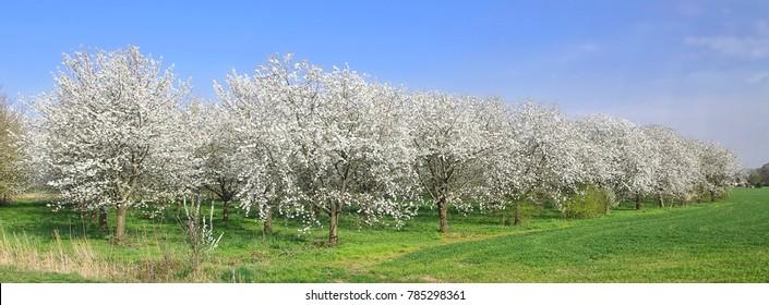 Blooming Betuwe, a row of flowering cherry trees.