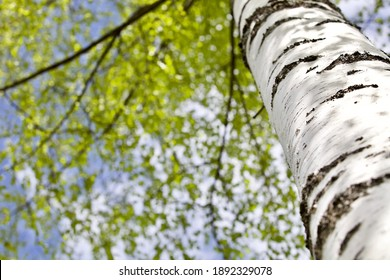 Blooming Birch tree in a sunny spring day. Young bright green leaves on birch tree branches close-up. White birch trunk in focus on a blue sky background. Spring birch in bright sunlight close up.