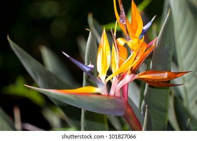 blooming bird of paradise flower