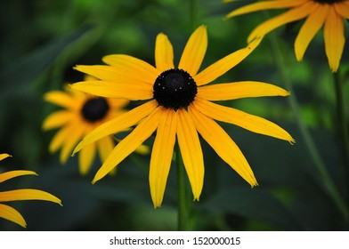 Blooming Black Eyed Susan Flower