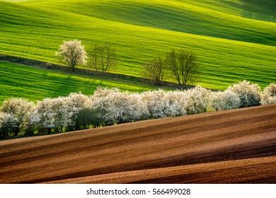 Blooming blackthorn bushes in Moravia. Spring season in Czech republic.