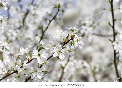 Blooming Blackthorn ( Prunus spinosa )