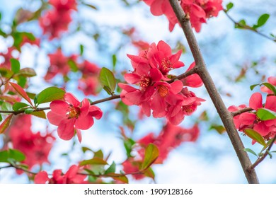 Blooming blossoming branches of Japanese quince or Maule's quince in the springtime. The inflorescences are full of flowers. Bright blue sky. Macro selected focus