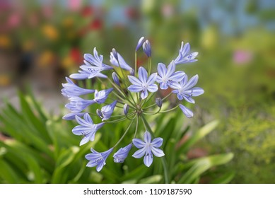 blooming blue agapanthus flower, african lily, in the garden. soft blurry background