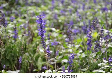Blooming blue bugleweeds Ajuga in the summer meadow