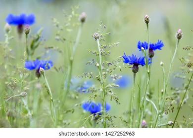 Blooming blue cornflower (Cyanus segetum) on a meadow