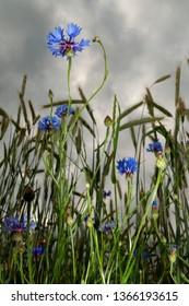 blooming blue cornflowers in grainfield