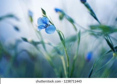Blooming blue flax in a farm field. Linum perenne or perennial flax