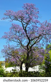Blooming Blue Jacaranda Tree in Adelaide, Australia