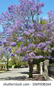 Blooming Blue Jacaranda Tree in the city streets of Adelaide, Australia