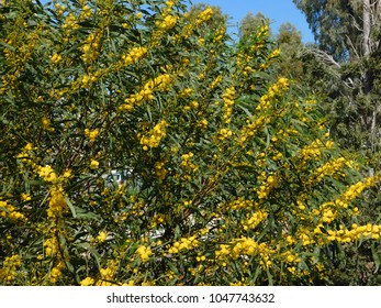 A blooming, blue leafed or golden wreath wattle, or acacia cyanophylla tree in Glyfada, Greece