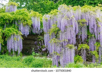 Blooming blue Wisteria.  Blue Rain Wisteria Flowers.  Fabaceae Chinese  Wisteria sinensis and Japanese Wisteria Floribunda Macrobotrys Longissima Alba blossom.