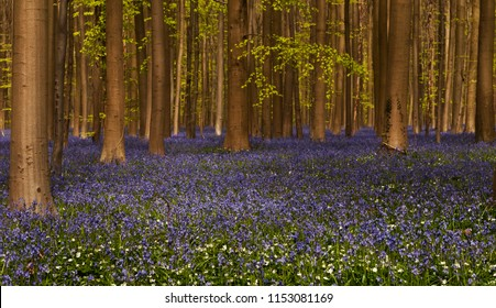 Blooming bluebells in Hallerbos