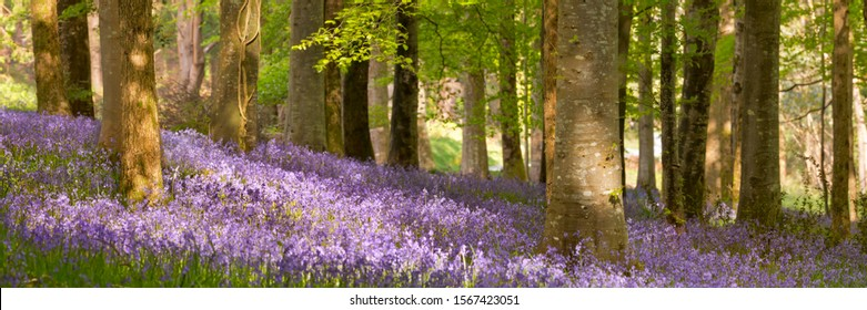 Blooming bluebells in Tollymore Forest Park in Northern Ireland.