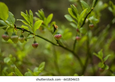 Blooming blueberry in spring forest