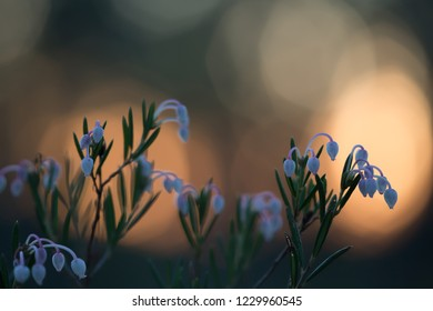 Blooming bog-rosemary, Andromeda polifolia in sunset