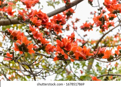 blooming Bombax ceiba or  red cotton tree