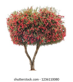 Blooming Bottle Brush Tree with exotic red flowers isolated on white background
