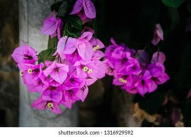 blooming bougainvillea in croatian garden