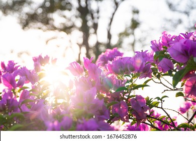 blooming bougainvillea, floral background with sunset