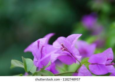 Blooming Bougainvillea flower background